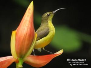 Olive-backed-Sunbird