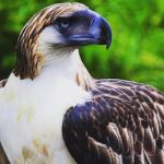 LOOK: Cebu Pacific Adopts Philippine Eagle 'Mindanao'