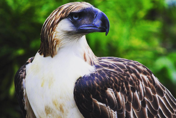 LOOK: Cebu Pacific Adopts Philippine Eagle 'Mindanao'